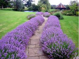 Lavender-edging-julian-tatlock-landscape-and-garden-design
