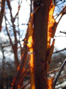 Acer griseum trees garden design Barnet